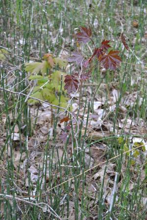 Barrie, Canadá: Maple leaves among the snake grass