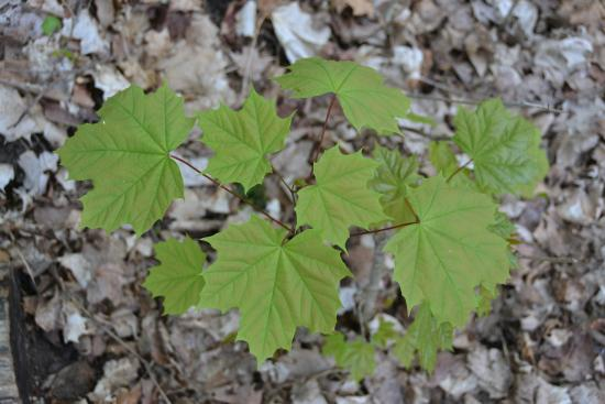 Barrie, Kanada: Baby Maple