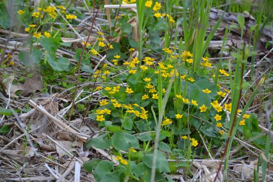 Barrie, Kanada: Yellow spring flowers