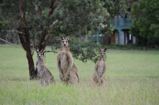Hunter Homestead: Kangroos at the Homestead