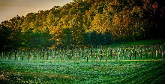 65 Vines Winery: Vineyard view