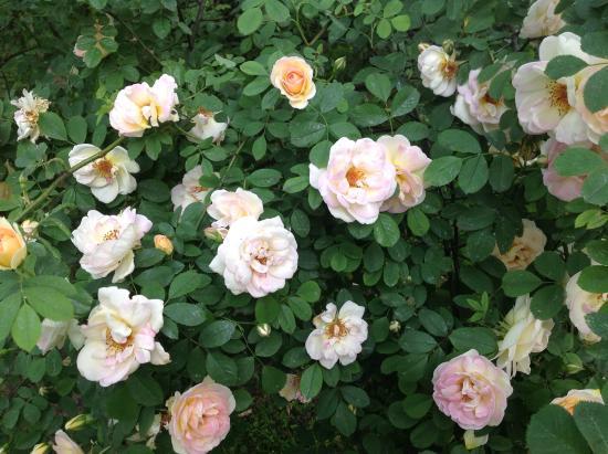 Park Ujazdowski: Розы