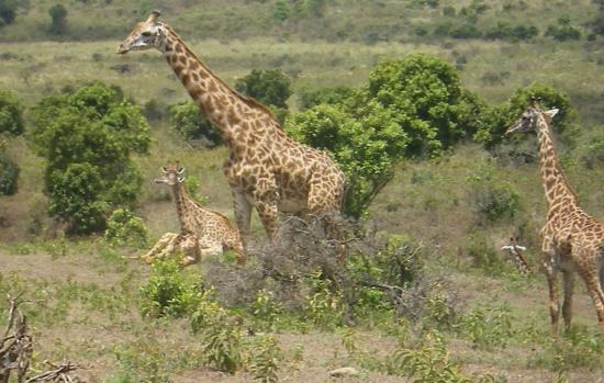 Full-Day Arusha National Park Tour with Lunch: Giraffee At Arusha Park