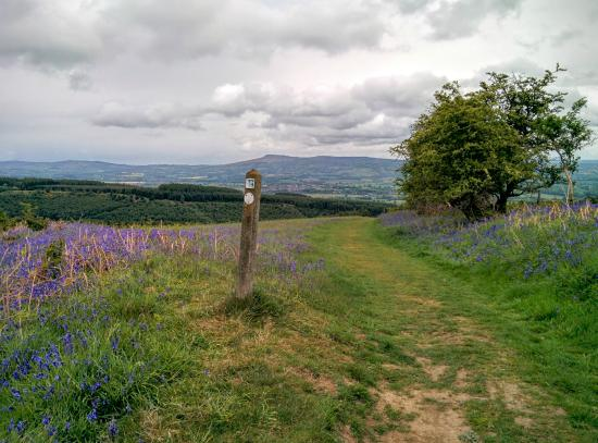 Ludlow, UK: Fields of bluebells in Mortimer Forest following the Climbing Jack Trail