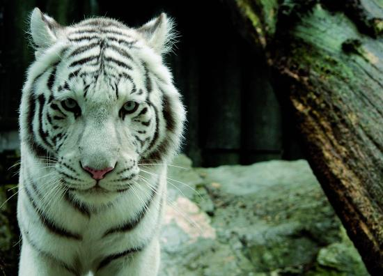 Liberec, Republika Czeska: White tiger