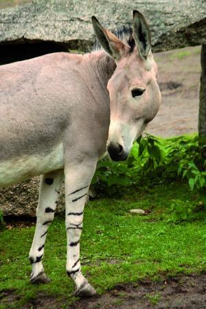 Liberec, República Checa: Wild african ass