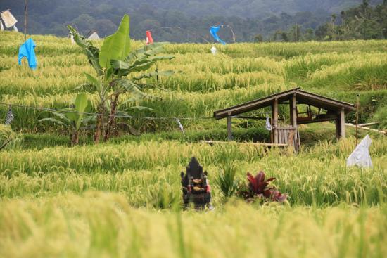 Warung Dhea, Jatiluwih : Rizières