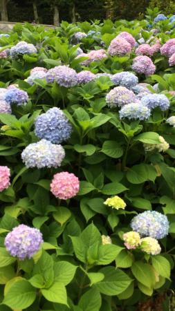 Oike Park : 紫陽花も見頃