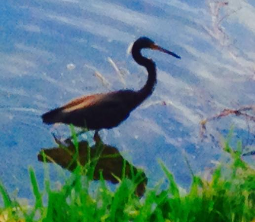 Jupiter, FL: Blue Heron