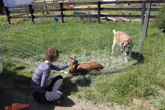 Leesburg, VA: Loved the goats!