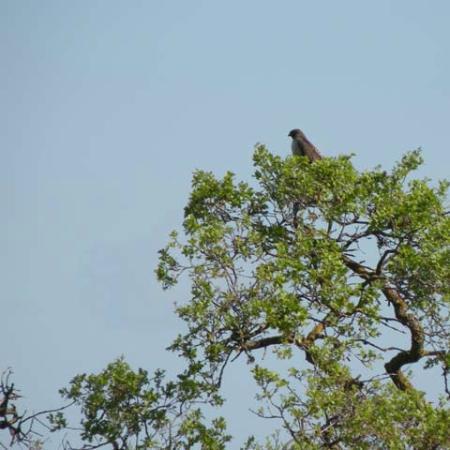 Palo Alto, Califórnia: The hawk in a gnarled oak tree