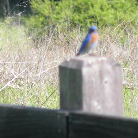 Palo Alto, Kalifornia: A Western Bluebird (sorry it's out of focus)