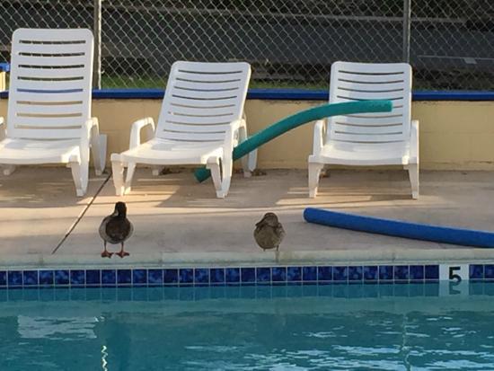Rodeway Inn & Suites: Ducks!