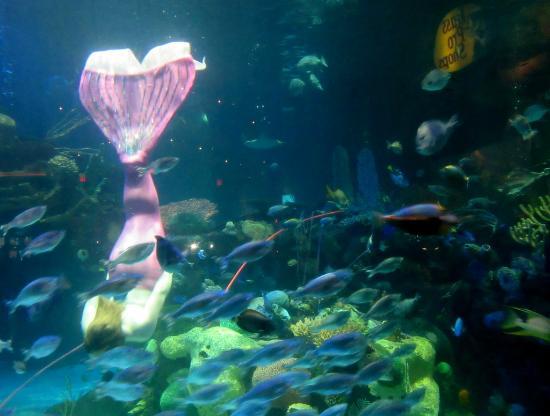 Mermaid in the tank picture of silverton aquarium las for Mermaid fish tank