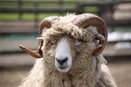 角が勇ましい羊 - 富津市、マザ...