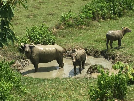 ACL Travels : Day Tour in Yangon: Chwe (Water Buffalo) Wallowing in Naypyitaw