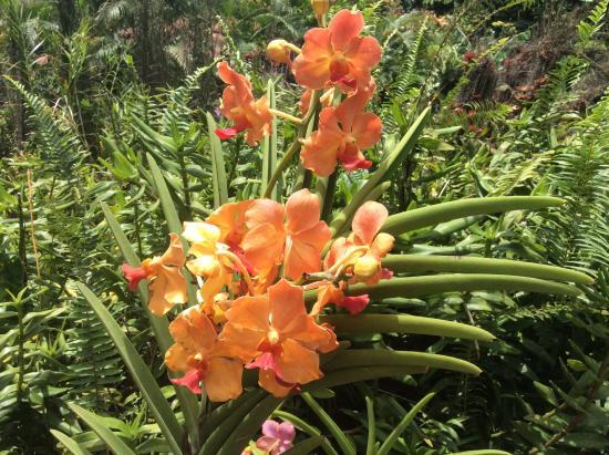 Orchid e foto di jardin botanique de deshaies deshaies - Jardin botanique guadeloupe basse terre ...