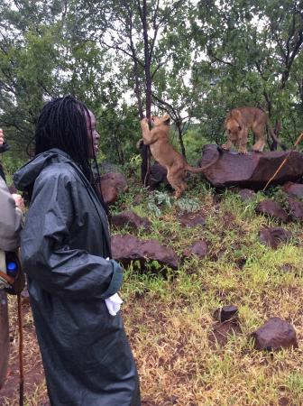 Walking with Lions at Victoria Falls: The lions have their way