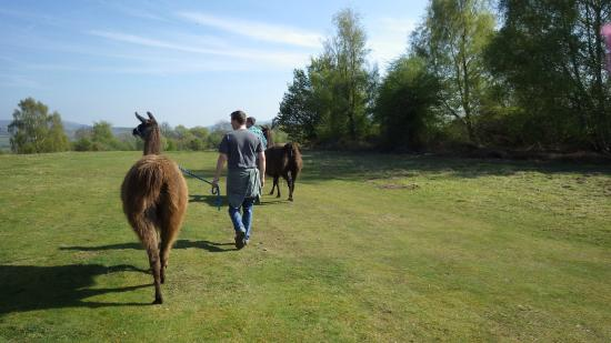 Golden Valley Llamas: Trekking across the common