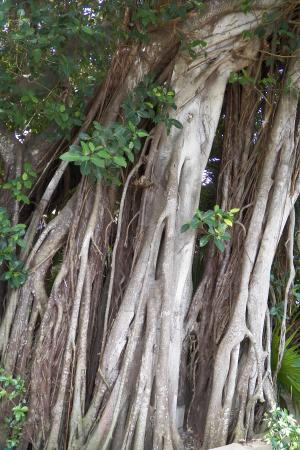 Dover House: cool banyan tree