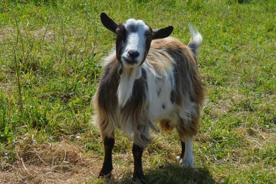 Larkstone Family Restaurant and Leisure Park: Goat