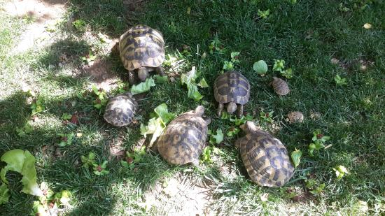 Pansion Rose: Turtle family