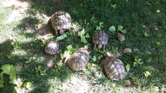 Pansion Rose : Turtle family
