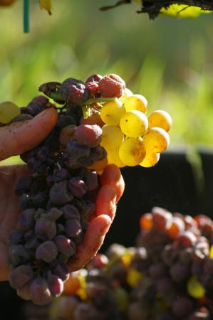 Bommes, France: Le raisin aux vendanges-the grapes in the harvest