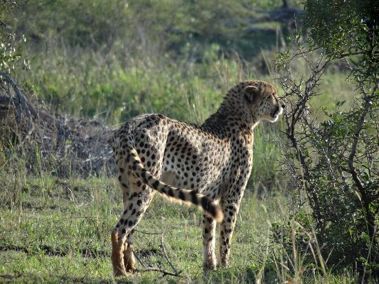 Crocodile Bridge Rest Camp: Cheetahs on S28