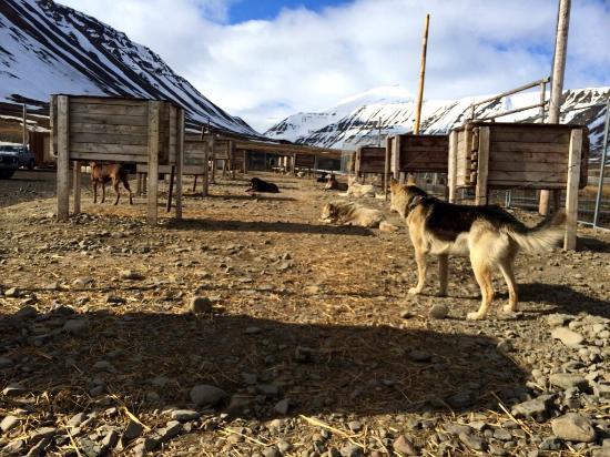 Svalbard Husky: photo5.jpg