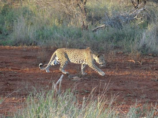 Lower Sabie Restcamp: Leopard  hunting Porcupine on H10