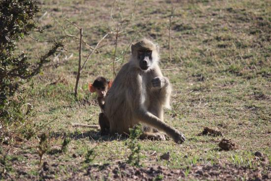 Thornicroft Lodge: Mother and baby baboon.