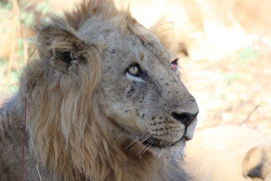 Thornicroft Lodge: Male lion.
