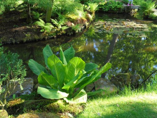 Japanese Garden : SKUNK CABBAGE