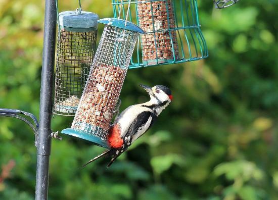 Tan-yr-Onnen: Woodpecker feeding