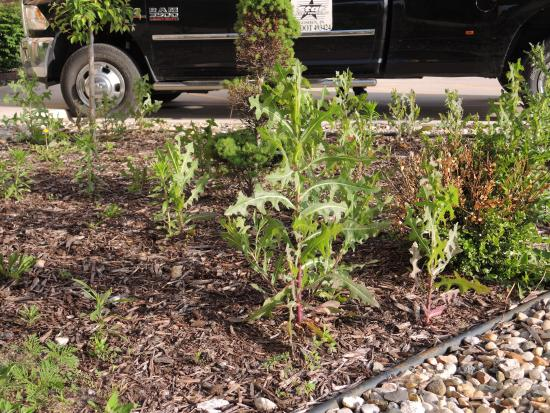 Hampton Inn & Suites Middlebury: Weeds choking the exterior landscaping - not acceptable for a Hilton property