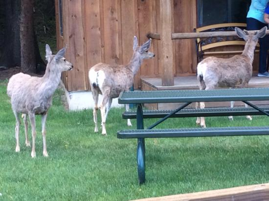 Rio Colorado Lodge: Deer come right to the front of the cabin