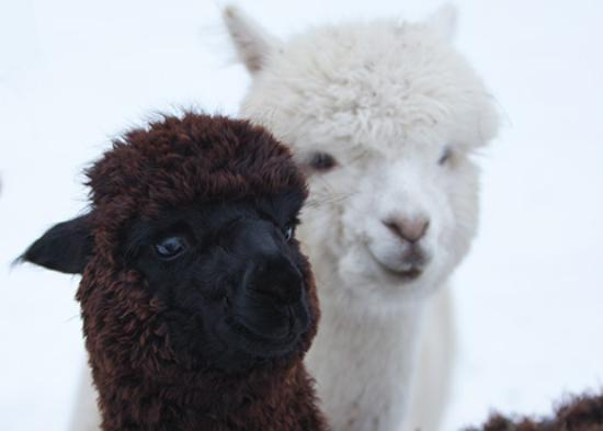 Sainte-Eulalie, Canadá: Two of our female on our alpaca farm / Deux de nos femelles sur notre ferme d'alpagas