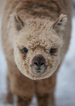Sainte-Eulalie, Canadá: One of our alpaca male / Un de nos alpagas mâle