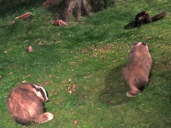 Speyside Wildlife: Badgers and pine marten from Rothiemurchus Hide