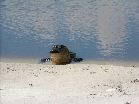 Biloxi, MS: Alligator on Ship Island