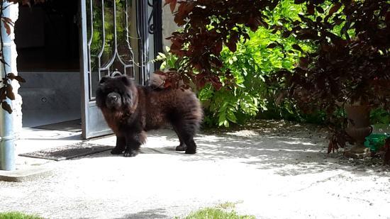 La Grange: Family pet Chow dog Ipssy