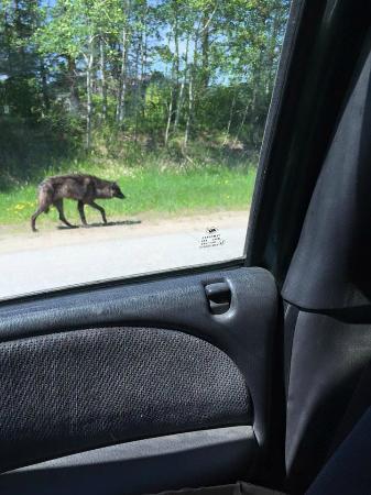 White Iron Beach Resort: Wolf