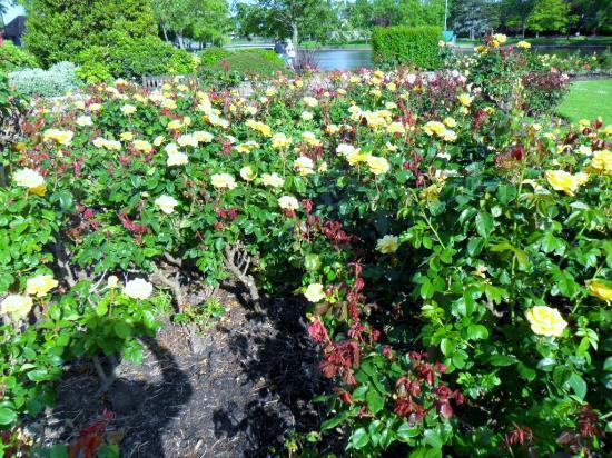 Roses at Southchurch Park