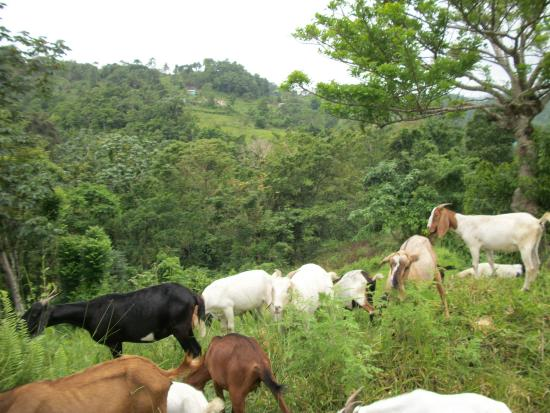 Saint James Parish, Jamaïque : The Goats