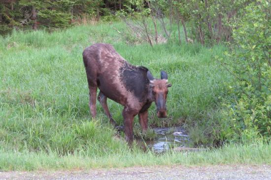 Cabins at Lopstick: One of the many Moose!