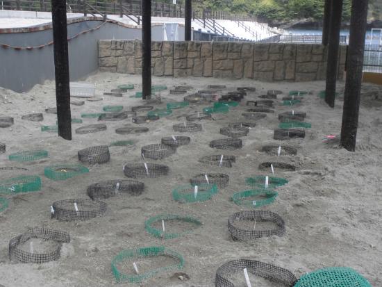 Hahajima Island: アオウミガメの人口孵化場