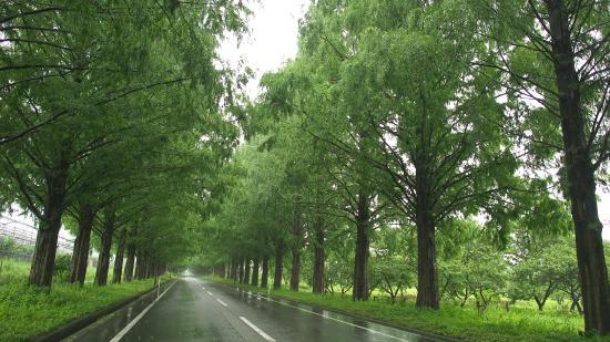 Metasequoia Namiki