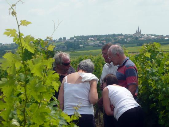 Le Puy-Notre-Dame, Francie: Explaining about the vines on one of our Loire Wine Tours.
