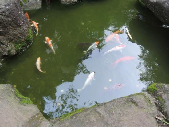"""mini jardim oriental : mini jardim oriental:Jardim Oriental: Lindas carpas em um pequeno """"lago"""""""